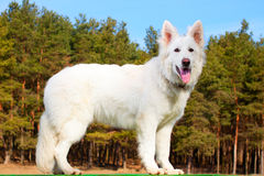 Swiss Shepherd dog staying over forest Royalty Free Stock Photo