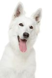 Swiss Shepherd dog on white background Royalty Free Stock Photography