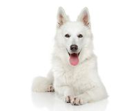 Swiss Shepherd dog on white background Royalty Free Stock Image