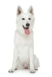 Swiss Shepherd dog on white background Royalty Free Stock Photos