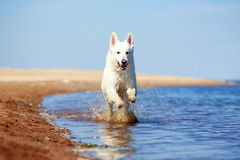 Swiss Shepherd Dog Royalty Free Stock Photography