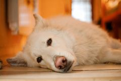 The Swiss Shepherd lies on the floor. The sleeping sheepdog. Stock Images