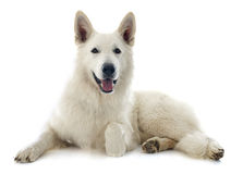 Swiss shepherd Stock Photo