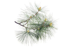 Swiss stone pine Royalty Free Stock Images