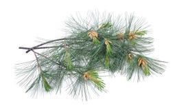 Swiss stone pine royalty free stock photo