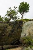 Swiss stone pine on rocky substrata Stock Photos