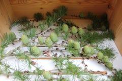 Swiss stone pine taken in trentino royalty free stock photography
