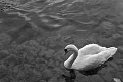 Swiss Swan Stock Images