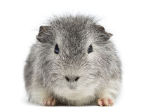 Swiss Teddy Guinea Pig facing, looking at the came Stock Photography