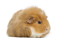 Swiss Teddy Guinea Pig, isolated Stock Image