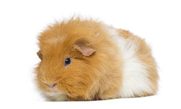 Swiss Teddy Guinea Pig, isolated Stock Photo