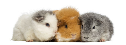 Swiss Teddy Guinea Pigs in a row, isolated Royalty Free Stock Image