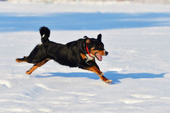 Swiss tricolor Appenzeller sennenhund dog runs on the snow Royalty Free Stock Image