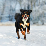 Swiss tricolor Appenzeller sennenhund dog runs on the snow. Swiss tricolor dog runs on the snow Royalty Free Stock Images