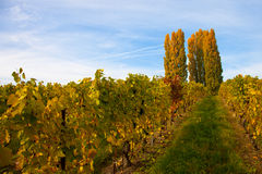 Swiss Vineyard. In after harvest in autumn Stock Images