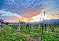 Swiss Vineyard. At dawn near Geneva Stock Photography