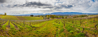 Swiss Vineyard. Panoramic view of a Swiss vineyard with overcast sky. Mount Saleve, France and Geneva is in the background Stock Photography