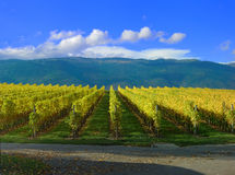 Swiss Vineyard Royalty Free Stock Photography