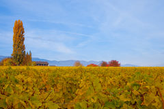 Swiss Vineyard Autumn. View of a Swiss Vineyard in Autumn with Jura Mountain range in the background Royalty Free Stock Photography
