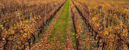 Swiss Vineyard in Autumn Stock Photography