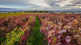 Swiss Vineyard I Royalty Free Stock Image