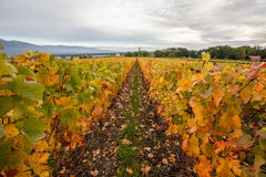 Swiss Vineyard II Stock Images