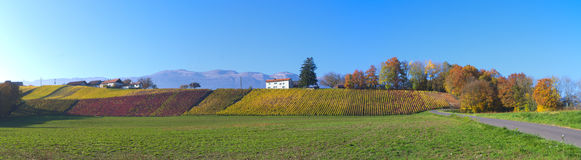 Swiss vineyard landscape. View on vineyards of swiss village in Geneva canton, Switzerand. Taken in OCT 2015 stock photo