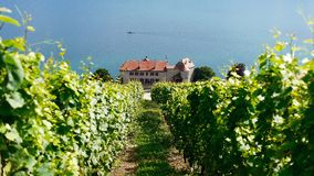 Swiss Vineyard Stock Image