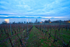 Swiss Vineyards at dawn. A vineyard in Switzerland at dawn with chablais Alps and Lake Geneva in the background Stock Images