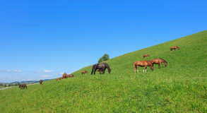 Swiss Warmblood Horses in Einsiedeln Royalty Free Stock Photography