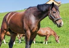 Swiss Warmblood stallion Stock Photos