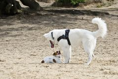 Swiss White Shepard in the dunes. Swiss white shepard playing with a chihuahua in the sand Stock Photography