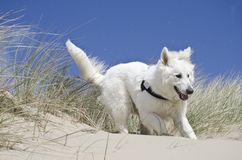 Swiss White Shepard in the dunes. On a sunny day at the beach having fun with my Swiss White Shepard in the dunes Royalty Free Stock Images