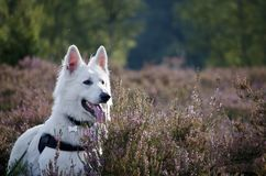 Swiss White Shepard in the heaths. Swiss white shepard between heath Royalty Free Stock Photography