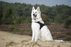 Swiss White Shepard on the heaths Royalty Free Stock Photo