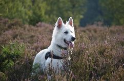 Swiss White Shepard on the heaths. Swiss white shepard during his daywalk between the heaths Royalty Free Stock Image
