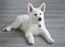 Swiss White Shepard puppy. Swiss white shepard just arrived in his new home Royalty Free Stock Photography