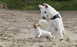 Swiss White Shepard playing chihuahua. Swiss white shepard playing with a chihuahua in the sand Royalty Free Stock Images