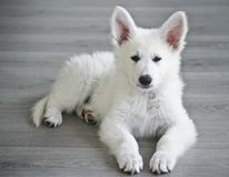 Swiss White Shepard puppy. 8 weeks old Stock Photos