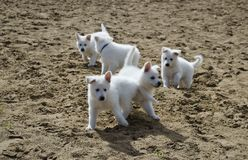 Swiss White Shepard pups. 6 week old on their first trip out of their home and garden Stock Images