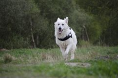 Swiss White Shepard running. After his ball Royalty Free Stock Photos