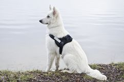 Swiss White Shepard sitting on lake shore. Swiss white shepard looking over the water on the lake shore Royalty Free Stock Photography