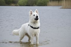 Swiss White Shepard in the water. With his ball, tracing a bird, multitasking Stock Photos
