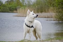 Swiss White Shepard in the water. Tracing a bird Royalty Free Stock Photos