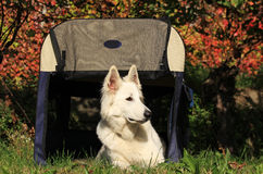 Swiss white shepherd Stock Photos