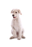 Swiss white shepherd Royalty Free Stock Photos