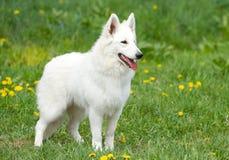 Swiss White Shepherd. Dog on the grass Royalty Free Stock Photo
