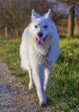 Swiss white shepherd Stock Photos