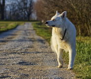 Swiss white shepherd Royalty Free Stock Photo