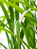 Switch grass Royalty Free Stock Photo
